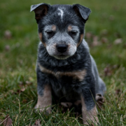 Very cute Australian Blue Heeler dog picture.PNG