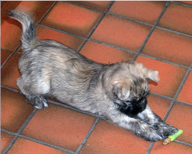 Cairn Terrier puppy playing.PNG