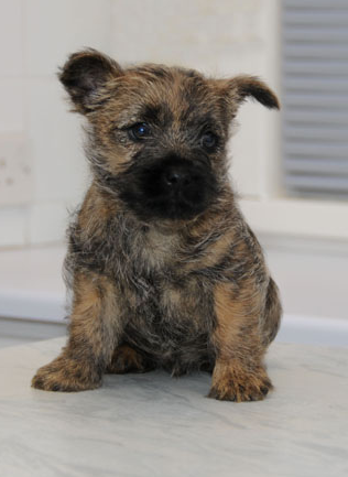 Cairn Terrier puppy with cool patterns.PNG