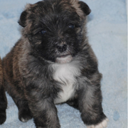 Chubby Cairn Terrier puppy picture.PNG