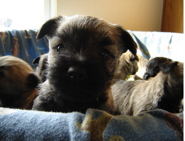 Close up face of puppy face picture of a Cairn Terrier puppy dog.PNG