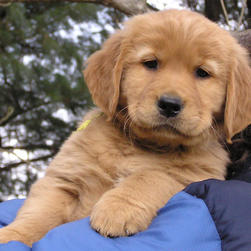 Golden Retriever puppy face