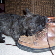 cute but naughty cairn terrier puppy biting shoes.PNG