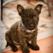 Cute Cairn Terrier puppy image.PNG
