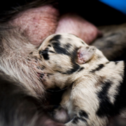 Newborn Catahoula puppy nursing_the cutest puppy picture ever.PNG