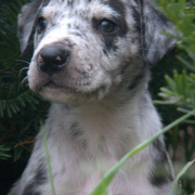 Picture of Catahoula pup.PNG