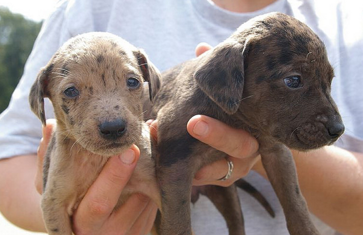 Catahoula puppies picture.PNG