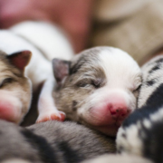 Catahoula puppies pictures.PNG