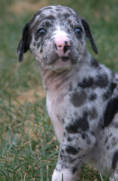 Catahoula puppy image.PNG