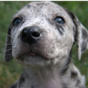 Cute Catahoula puppy face pictures.PNG