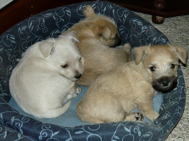 Cute puppies picture of Cairn Terrier puppies in their dog bed.PNG
