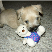 Cute puppy picture of a Cairn Terrier dog puppy.PNG