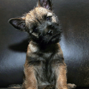 Funny puppy picture of a Cairn Terrier puppy.PNG