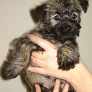 Image of Cairn Terrier puppy in dark color.PNG