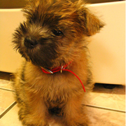 Image of Cairn Terrier puppy.PNG