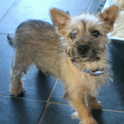 Light colored Cairn Terrier puppy image.PNG