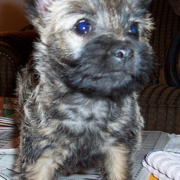 Naughty looking Cairn Terrier puppy.PNG