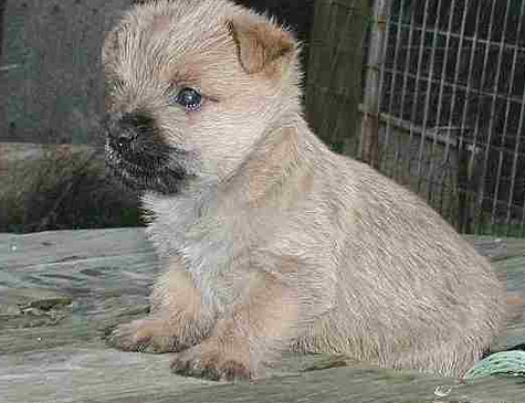 Photo of Cairn Terrier puppy.PNG