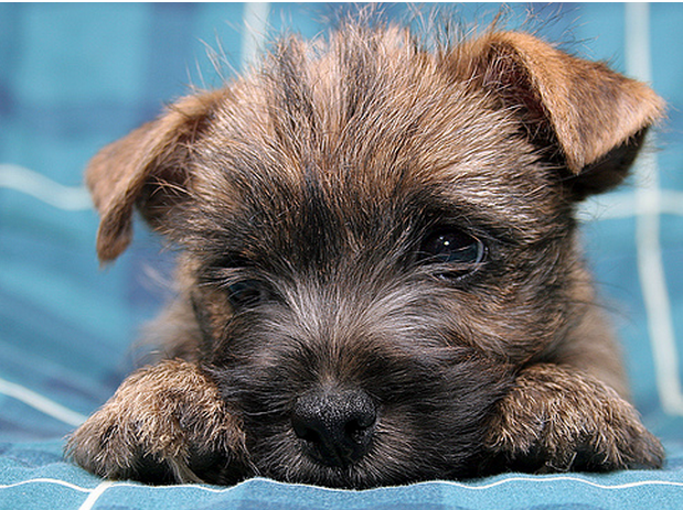 Puppy face pictures of a cute Cairn Terrier puppy.PNG