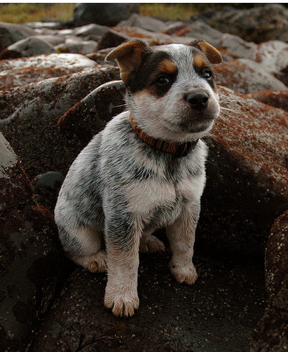 Young Blue Heeler puppy on rocks on the beach.PNG