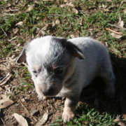 Young Blue Heeler puppy photo.PNG