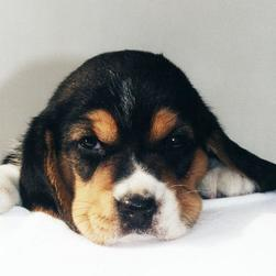 beagle puppy cute face.jpg