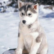 Alaskan Puppies Gallery