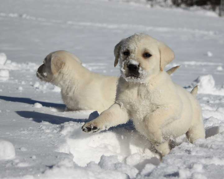 Lab Puppies Playing Lab puppies playing in the