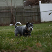 Young Australian Blue Heeler puppy playing in garden with its friend.PNG