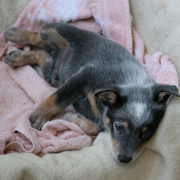 Young Blue Heeler puppy chilling on its dog bed.PNG