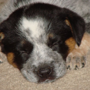 Young Blue Heeler puppy in deep sleep.PNG