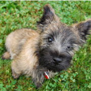 Small dog picture of a Cairn Terrier puppy.PNG