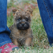 Small size dog picture of a Cairn Terrier puppy.PNG