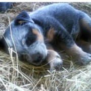 Young Blue Heeler puppy sleepying.PNG