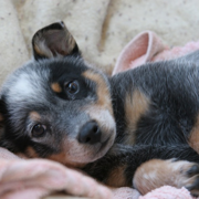Young puppy picture of a Blue Heeler dog.PNG