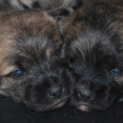 Two Cairn Terrier puppies face to face next to each other_looking so cute.PNG