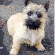 Wet Cairn Terrier puppy.PNG