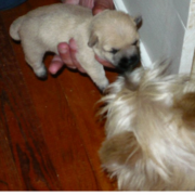 Young Cairn Terrier puppy pictures.PNG