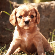 Young Cavalier King dog pictures.PNG