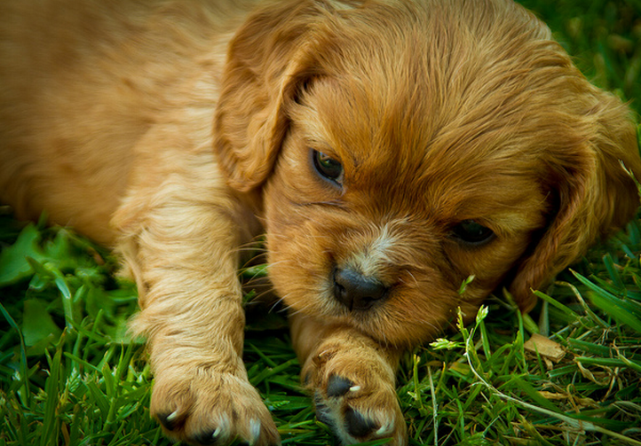 Beautiful puppy pictures of a cute tan Cavalier King dog.PNG