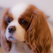 Beautiful young dog Cavalier King pup pictures.PNG