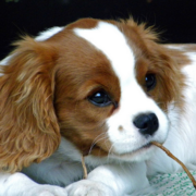 Cavalier King Charles Spaniel dog picture.PNG