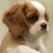 Cavalier King Charles Spaniel puppy picture in white and tan.PNG