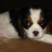 Cavalier King dog photos.PNG