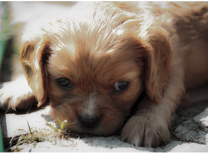 Cavalier King pup picture.PNG