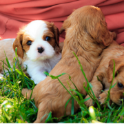 Cavalier King puppies pictures.PNG