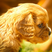 Mixed Cavalier King puppy pictures.PNG