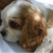 Picture of tan and white puppy Cavalier king dog.PNG