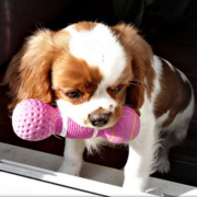 Playful Cavalier King puppy in white and tan.PNG