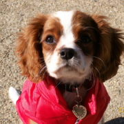 Pretty puppy picture of Cavalier King dog.PNG